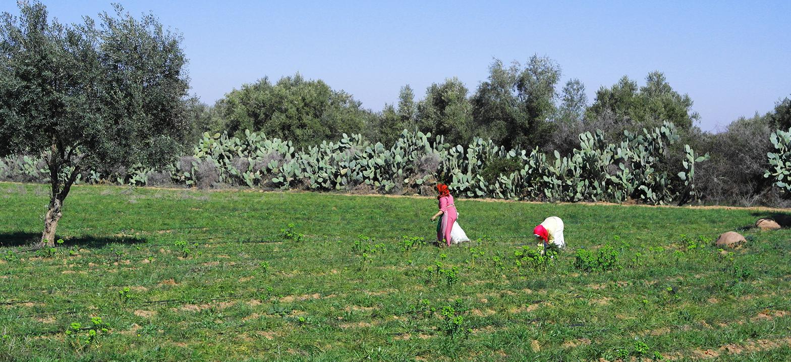 Marokko-Rundreisen Safranernte